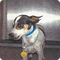 Rat Terrier/Chihuahua Mix Dog for adoption in Longview, Washington - TOY BOY
