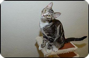 Domestic Shorthair Kitten for adoption in Brick, New Jersey - Buddha