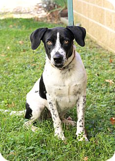 English Pointer/Bluetick Coonhound Mix Dog for adoption in Mayflower, Arkansas - Thelma