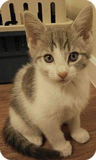 Domestic Shorthair Kitten for adoption in Cleveland, Ohio - Matisse