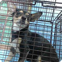 Adopt A Pet :: URGENT on 11/29 SAN BERNARDINO - San Bernardino, CA