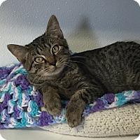 Domestic Shorthair Kitten for adoption in Greensburg, Pennsylvania - Skinner