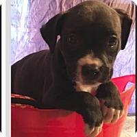 Adopt A Pet :: Grace - Cat Spring, TX