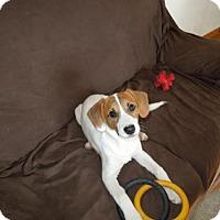 Adopt A Pet :: Blitzen the Puppy - Harrisburg, PA