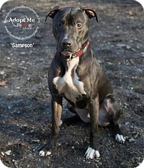 American Staffordshire Terrier/Greyhound Mix Dog for adoption in THREE RIVERS, Massachusetts - Sampson