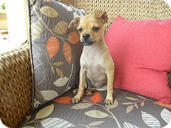 Boxer/Chihuahua Mix Puppy for adoption in Mission Viejo, California - JoJo