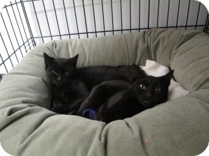 Domestic Shorthair Kitten for adoption in Island Park, New York - Lia & Lena