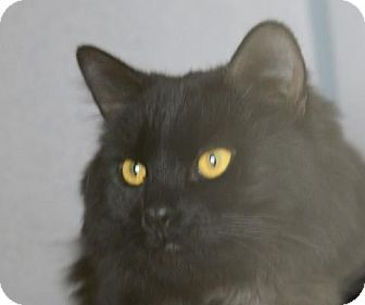 Domestic Longhair Cat for adoption in Gardnerville, Nevada - Meisha