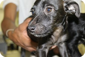 Terrier (Unknown Type, Small) Mix Puppy for adoption in Waldorf, Maryland - Joch