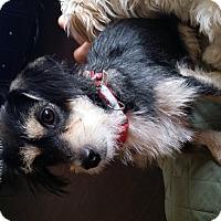 Adopt A Pet :: Tina - Rancho Cucamonga, CA