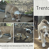 Adopt A Pet :: Trenton Adoption pending - Manchester, CT