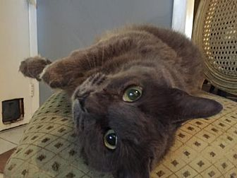 Domestic Mediumhair Cat for adoption in Royal Palm Beach, Florida - Sofie