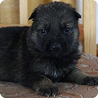 Adopt A Pet :: BOSCH - Winnipeg, MB