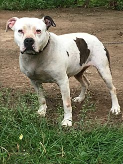 American Bulldog Mix Dog for adoption in Staunton, Virginia - Lily