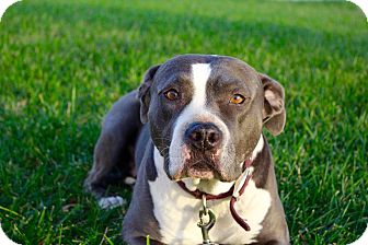 Pit Bull Terrier Mix Dog for adoption in Cypress, California - Amara