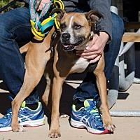 Boxer Mix Dog for adoption in Midlothian, Virginia - Crazy Eyes Jane
