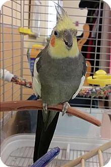 Cockatiel for adoption in Vernon, British Columbia - Joey