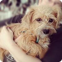 Adopt A Pet :: Toto - Thousand Oaks, CA