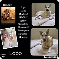 Shepherd (Unknown Type) Mix Dog for adoption in Denver, Colorado - Lobo