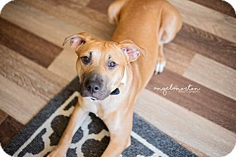 Labrador Retriever/Shepherd (Unknown Type) Mix Dog for adoption in Burlington, North Carolina - Chico-adoption pending