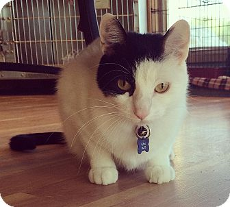Domestic Shorthair Cat for adoption in Alexandria, Minnesota - Cirkus