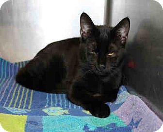 Domestic Mediumhair Cat for adoption in Chicago Ridge, Illinois - WINSTON