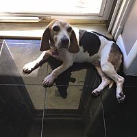 Beagle Mix Dog for adoption in Waldorf, Maryland - Ethel Daviess