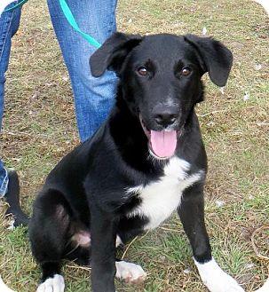 Border Collie/Labrador Retriever Mix Puppy for adoption in Washington, D.C. - Ziggy