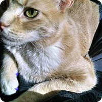 Domestic Shorthair Cat for adoption in Fort Collins, Colorado - Sprout