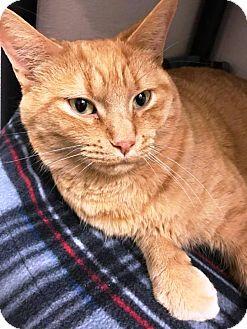 Domestic Longhair Cat for adoption in Kalamazoo, Michigan - Pumpkin