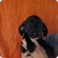 Adopt A Pet :: Auggy - Oviedo, FL