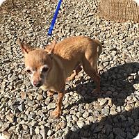 Adopt A Pet :: Pedro formerly Hermes - Las Vegas, NV