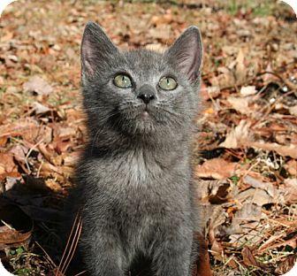 American Shorthair Kitten for adoption in Foster, Rhode Island - Ren