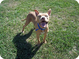 American Pit Bull Terrier/French Bulldog Mix Dog for adoption in Tampa, Florida - Ace