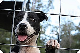 Pit Bull Terrier/Border Collie Mix Dog for adoption in Somerville, Texas - Delilah