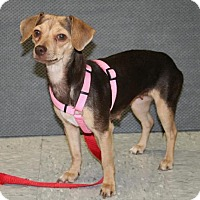 Dachshund/Chihuahua Mix Dog for adoption in Phoenix, Arizona - CeCe