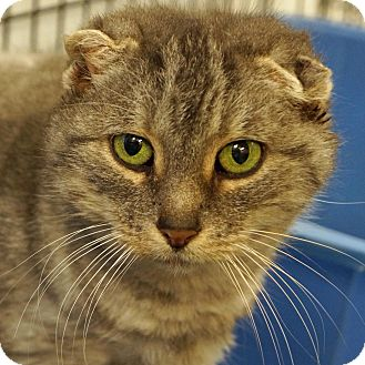 Domestic Shorthair Cat for adoption in Sprakers, New York - Oz