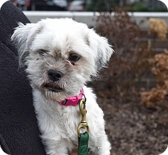 shih tzu rescue nyc new york ny shih tzu poodle miniature mix meet jon 9302