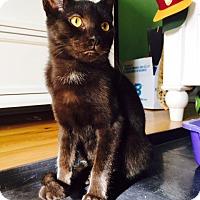 Adopt A Pet :: Mischief - Devon, PA