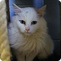 Adopt A Pet :: Spirit - New Milford, CT