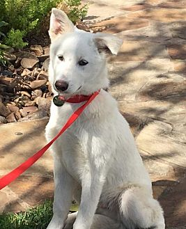 Husky/Shepherd (Unknown Type) Mix Dog for adoption in Houston, Texas - Smuggler