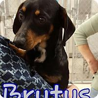 Adopt A Pet :: BRUTUS - Lubbock, TX