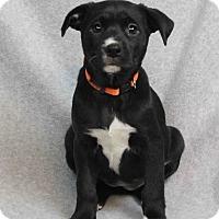 Adopt A Pet :: Jessie - Westminster, CO
