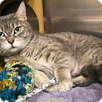 Domestic Shorthair Cat for adoption in Bellevue, Washington - Holly