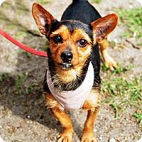 Adopt A Pet :: Lila - New York, NY