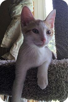 Domestic Shorthair Kitten for adoption in Warrenton, Missouri - Joey