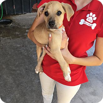 Beagle/Dachshund Mix Puppy for adoption in Littleton, Colorado - LUCY's Pup 1