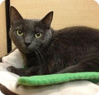 Domestic Shorthair Cat for adoption in Voorhees, New Jersey - Cuddles-PetSmart Marlton