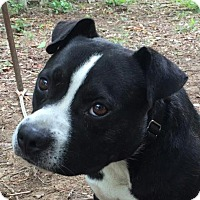 Adopt A Pet :: Schnitzel - Allentown, PA