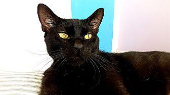 Domestic Shorthair Cat for adoption in Santa Ana, California - Montgomery